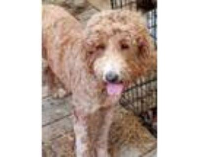 Adopt Sangria a Red/Golden/Orange/Chestnut Poodle (Standard) / Goldendoodle /
