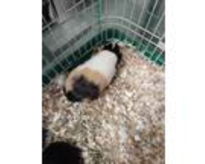 Adopt Cami a Brown or Chocolate Guinea Pig / Guinea Pig / Mixed small animal in
