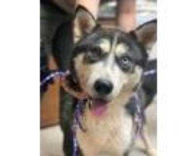 Adopt Vador a Black Husky / Mixed dog in Spartanburg, SC (32110167)