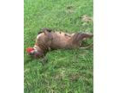 Adopt Trishia a American Staffordshire Terrier, Pit Bull Terrier