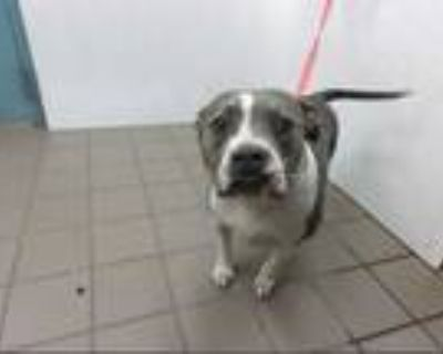 Adopt BAILEY a Gray/Silver/Salt & Pepper - with White American Pit Bull Terrier