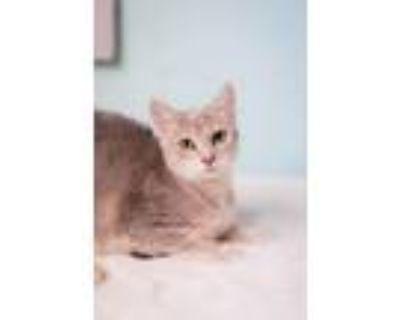 Adopt Kassidy a Domestic Shorthair / Mixed (short coat) cat in Hampton