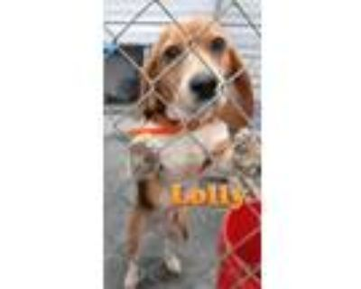 Adopt Lolly a Beagle
