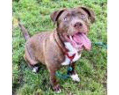 Adopt Ash a Brown/Chocolate Labrador Retriever / Mixed dog in Indianapolis