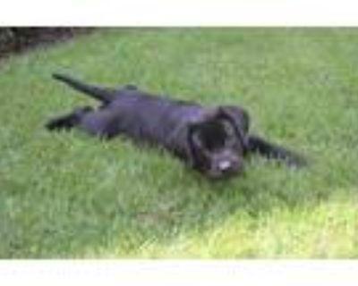 Adopt Abby a Black Labrador Retriever / Mixed dog in Cumming, GA (31618181)