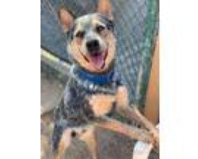 Adopt BoJack a Gray/Blue/Silver/Salt & Pepper Australian Cattle Dog / Mixed dog