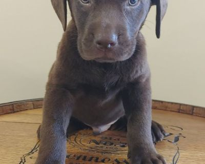 AKC Registered Chocolate Lab Puppies!!!