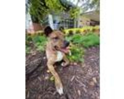 Adopt Lottie a Brindle American Pit Bull Terrier / Mixed dog in Newport News
