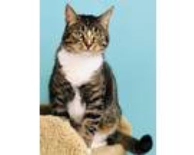 Adopt Twinkle a Brown Tabby Domestic Shorthair / Mixed (short coat) cat in Seal