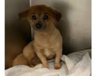 Adopt Caramel a Mixed Breed (Small) / Pomeranian / Mixed dog in Portsmouth
