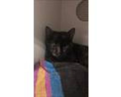 Adopt Honeybee a All Black Domestic Shorthair / Domestic Shorthair / Mixed cat