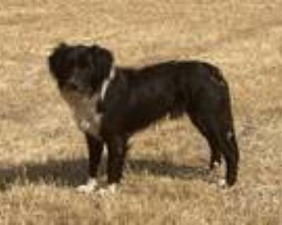 Adopt BANDIT a Border Collie, Mixed Breed