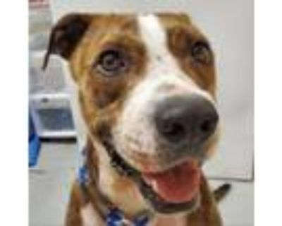Adopt Sammie a Boxer, Mixed Breed