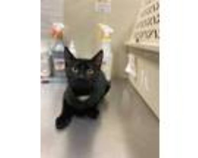 Adopt Huff a All Black Domestic Shorthair / Domestic Shorthair / Mixed cat in