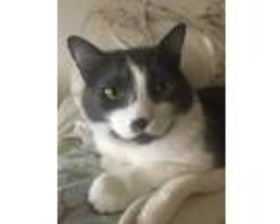 Adopt Smudge a Gray or Blue (Mostly) American Wirehair / Mixed (medium coat) cat