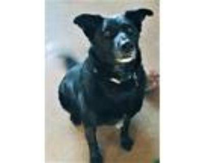 Adopt Jeffery a Black Labrador Retriever / Mixed dog in Rio Rancho
