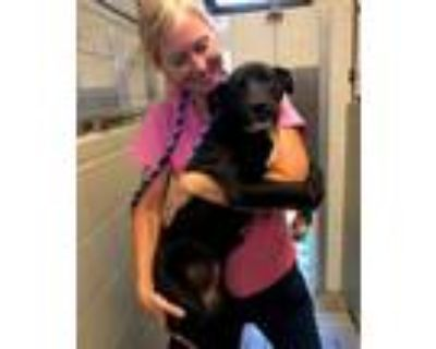Adopt Reece a Black Labrador Retriever, Labrador Retriever