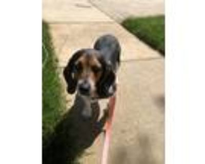 Adopt Lucy a Tricolor (Tan/Brown & Black & White) Basset Hound / Beagle / Mixed