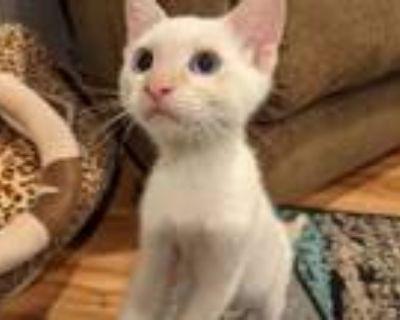 Adopt Yuki a Siamese