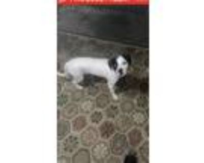 Adopt Rosco a White - with Black Jack Russell Terrier / Mixed dog in Dayton