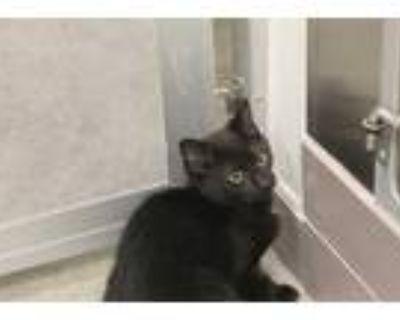 Adopt TITAN a All Black Domestic Shorthair / Mixed (short coat) cat in