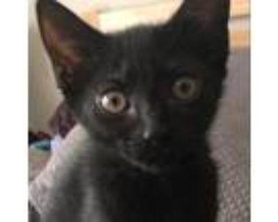 Adopt Cashew - ATL a Domestic Short Hair