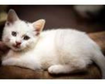 Adopt Kaanapali a White Domestic Shorthair / Domestic Shorthair / Mixed cat in