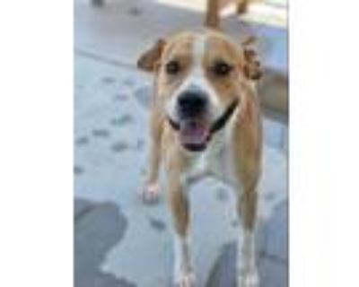 Adopt *ALEXANDER a Tan/Yellow/Fawn - with White American Pit Bull Terrier /