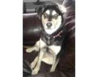Adopt Indy a Black - with Tan, Yellow or Fawn Shepherd (Unknown Type) / Labrador