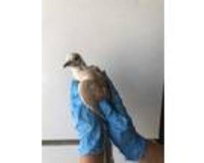 Adopt a Tan Dove / Mixed bird in Castaic, CA (31512812)