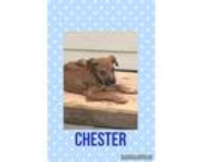 Adopt Chester a Brown/Chocolate - with Black Labrador Retriever / Mixed Breed