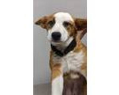 Adopt Cadillac a Brown/Chocolate Collie / Mixed dog in Norfolk, VA (31485872)