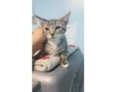 Adopt *ADDISON a Brown Tabby Domestic Shorthair / Mixed (short coat) cat in