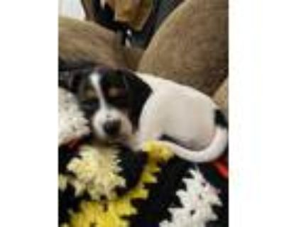 Adopt Dexter a Tricolor (Tan/Brown & Black & White) Beagle / Mixed dog in Lima