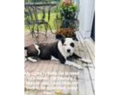 Adopt Baby a White - with Black Papillon / Mixed dog in Mobile, AL (31617348)