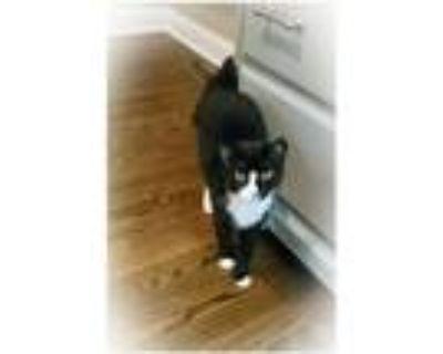 Adopt Sally (Tripod & Shy) a Domestic Short Hair, Tuxedo