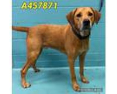 Adopt MORTY a Brown/Chocolate - with White Labrador Retriever / Mixed dog in San