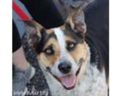 Adopt Murdock a Australian Cattle Dog / Blue Heeler