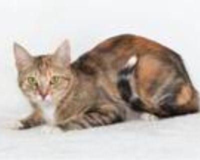 Adopt MISAKO a Domestic Short Hair