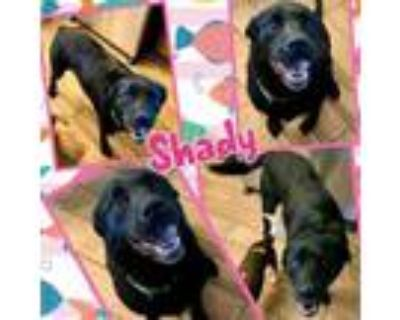 Adopt Shady a Black Labrador Retriever