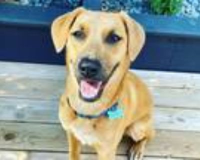 Adopt Scooby a Tan/Yellow/Fawn - with Black German Shepherd Dog / American Pit