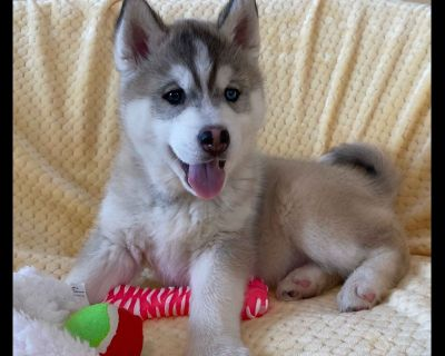 Siberian Husky Puppies- Ready NOW!