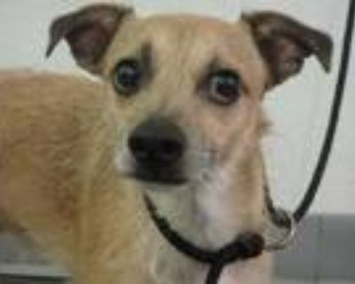 Adopt TEDDY a Tan/Yellow/Fawn - with White Mixed Breed (Medium) / Mixed dog in