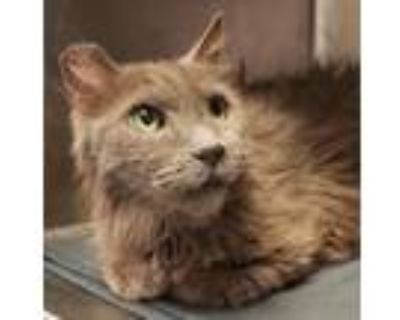 Adopt 48175997 a Gray or Blue Domestic Longhair / Mixed cat in El Paso
