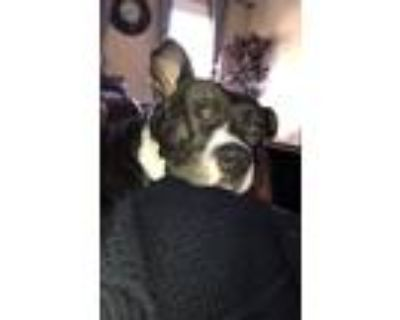 Adopt Major a Brindle American Staffordshire Terrier / American Pit Bull Terrier