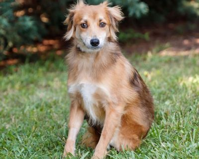 Ceto P 10847 - Collie/Mix - Adult Male