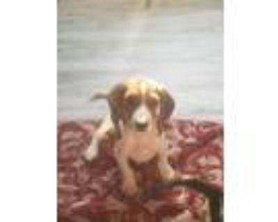 Adopt Murphy - adoption pending a Beagle