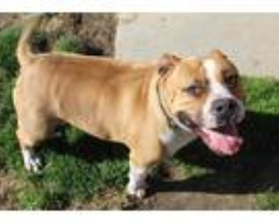 Adopt *TURDIE a Brown/Chocolate - with White American Pit Bull Terrier /