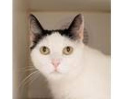 Booberry, Domestic Shorthair For Adoption In Los Angeles, California