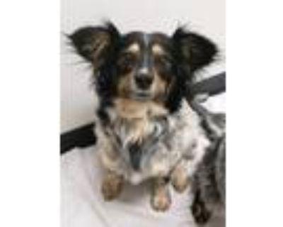 Adopt Cherry Pie a Australian Cattle Dog / Blue Heeler, Mixed Breed